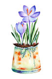 High quality painted watercolor- 2 crocus in shabby old pot. Colorful illustration can be used for greeting cards, mother's day, wallpapers, invitation, blog Royalty Free Stock Image