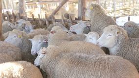 High-quality sheep and lamb organic meat products stock video