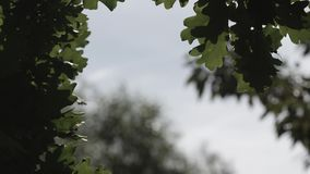 Green oak tree leaves trembling in the breeze summer day. High quality stock footage shot with Sony fs-700 and Odyssey 7Q stock video footage