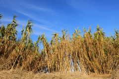 High reed Royalty Free Stock Image
