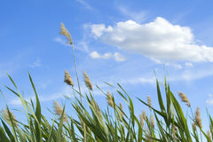 High reed against cloudy sky Royalty Free Stock Photos