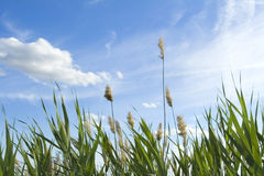 High reed against cloudy sky Royalty Free Stock Photography