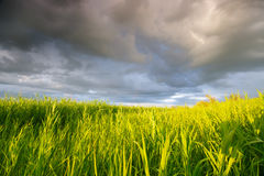 High reed against cloudy sky in wind day Royalty Free Stock Image