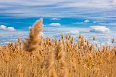 High reed in front of a blue sky and white clouds royalty free stock photography