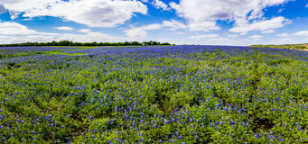 High Res Panorama of Fields of Bluebonnets at Mule Shoe Bend, Te Royalty Free Stock Photo
