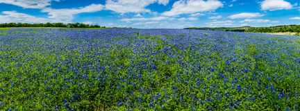 High Res Panorama of Fields of Bluebonnets at Mule Shoe Bend, Te Stock Image