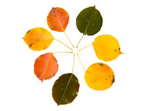 High Resolution autumn leaves of pear tree Royalty Free Stock Photo