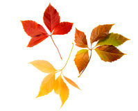 High Resolution autumn leaves of wild vine Stock Images