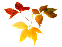High Resolution autumn leaves of wild vine Royalty Free Stock Images