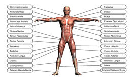 High resolution concept or conceptual 3D human anatomy. And muscle isolated on white background as metaphor to body Royalty Free Stock Photo