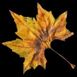 High Resolution Dry Maple Leaf Isolated On Black Background.  Royalty Free Stock Images