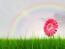 High resolution flower in grass. High resolution 3d green grass over a blue sky with a rainbow as background and a nice pink gerbera flower Royalty Free Stock Photo