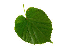 High Resolution green leaf of lime tree isolated on white backgr Stock Image