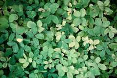 High resolution green leaf texture background Stock Photos