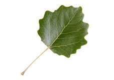High Resolution green leaf of white poplar tree Stock Photos