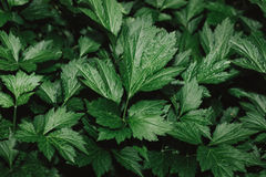 High resolution Green Leaves Background Texture royalty free stock image