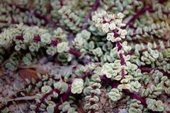 Desert Succulents of the Kalahari Stock Photos
