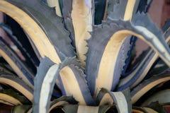 Desert Succulents of the Kalahari Stock Photography