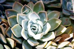 Desert Succulents of the Kalahari Royalty Free Stock Photos