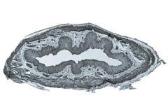 Epithelium micrograph Royalty Free Stock Image