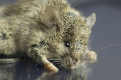 High resolution macro photo of a Mouse Royalty Free Stock Images