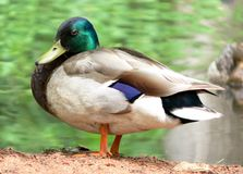 High Resolution Mallard Duck. Large resolution close-up of a male mallard duck Stock Images