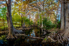 High Resolution Panorama of Fall Foliage at Cibolo Creek, Texas. High Resolution Panoramic View of Morning Sunlight on Fall Foliage of Huge Cypress Trees at Royalty Free Stock Photos