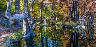 High Resolution Panoramic View of Giant Cypress Trees in Texas. High Resolution Panoramic View of Giant Cypress Trees with Beautiful Fall Foliage in Garner State Royalty Free Stock Photo