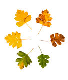 High Resolution set of autumn leaves of Cornelian cherry tree on white Royalty Free Stock Image