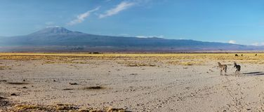 High resolution wide panorama of two plains zebra Equus quagga, stock images
