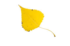 High Resolution yellow leaf of poplar tree isolated on white bac Stock Photos