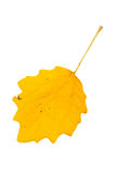 High Resolution yellow leaf of poplar tree isolated on white bac Royalty Free Stock Photography