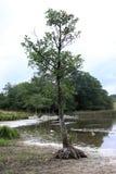 High rooted tree near Havgardssjon, Sweden Royalty Free Stock Photography