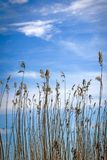 High rushes on the lake in the background of cloudy sky royalty free stock photography