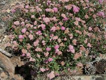 High Sierra Alpine flowers pink Royalty Free Stock Images