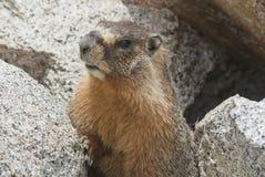 High Sierra Marmot. Marmot, (marmota petromarmota), peeks out from is burrow in rocks at Whitney Portal, California Stock Photos