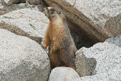 High Sierra Marmot. A yellow-bellied marmot, (marmota petromarmota), peeks out from is burrow in rocks at the Whitney Portal Campground in the eastern Sierra Stock Image