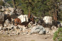 High Sierra mule train in the wilderness. A mule train works across a trail in the high Sierra wilderness on the Pacific Crest Trail (on the John Muir portion) Royalty Free Stock Images