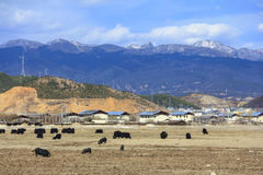 High snow mountains and Yaks in the field, scenery of Shangri-La Stock Image