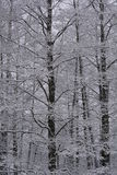 High snowy trees. High and thin snowy dark trees - intertwined branches Stock Image