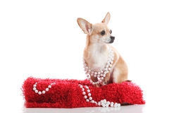 High society dog. Glamorous chihuahua sitting on a red carpet wearing beads Royalty Free Stock Photo
