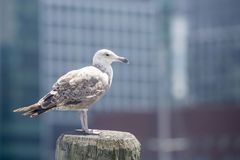 Common Gull Larus Canus. High speed photo of a Common Gull Larus Canus Stock Photo