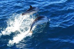 Dolphin jumping in open waters. High speed photo of pair of common dolphins jumping in the Mediterranean sea stock image