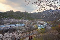 Flower sea and train S2 line, Beijing, China. The high speed train line S2 is a line running through Juyongguan Great Wall and flower forest. When in spring with stock images