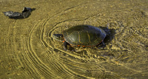 High Speed Turtle Royalty Free Stock Photos