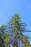 High spruce in forest Stock Photography