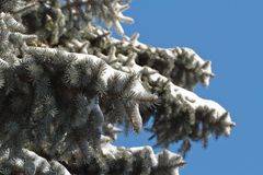 High spruce in snow against a blue sky. Stock Photography