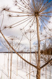 Cowparsnip. High stalks of dried up cowparsnip in the field in the winter against the blue sky Royalty Free Stock Image