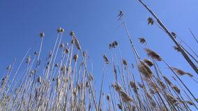 High straw in the wind. From below, in the background of sky stock footage