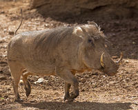 High-tailing it. A female warthog on the run with her tail in the air Royalty Free Stock Photo